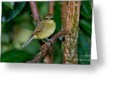 Flavescent Flycatcher Greeting Card