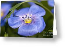 Flax Flower Greeting Card
