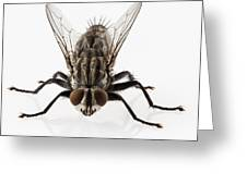 Flesh Fly Isolated Greeting Card
