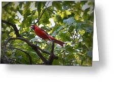 Flight Of The Cardinal Greeting Card