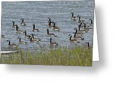 Flock Of Canada Geese   #7116 Greeting Card