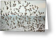 Flock Of Dunlin Greeting Card by Karol Livote