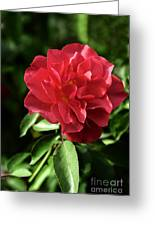 Floribunda Rose 8978 Greeting Card