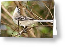 Florida Mockingbird Greeting Card
