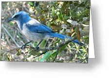 Florida Scrub Jay Greeting Card