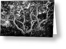 Florida Scrub Oaks Bw   Greeting Card