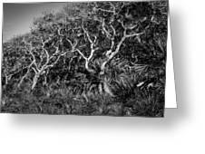 Florida Scrub Oaks Painted Bw  Greeting Card