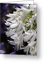 Flower-agapanthus-white-flora Greeting Card