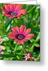 Flower Astra Outback Purple Art Prints Greeting Card