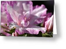 Flower--azalea-white-pink Greeting Card