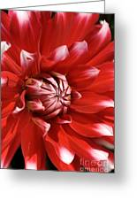 Flower- Dahlia-red-white Greeting Card