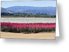 Flower Fields Of Lompoc Valley Greeting Card