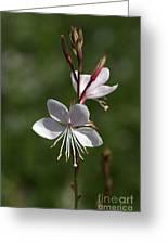 Flower-gaura-white  Greeting Card