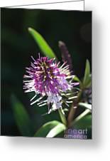 Flower-hebe  Greeting Card