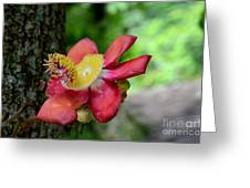 Flower Of Cannonball Tree Singapore Greeting Card
