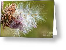 Flower Of The Canada Thistle Greeting Card