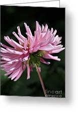 Flower-pink Dahlia-bloom Greeting Card