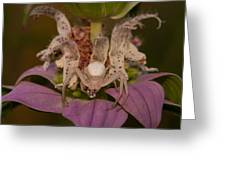 Flower Spider On Horsemint #2 Greeting Card