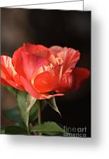 Flower-tri Toned-rose Greeting Card