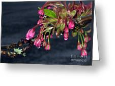 Flowering Cherry Trees Buds Greeting Card