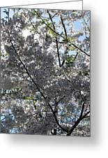 Flowering Cherry - White Greeting Card