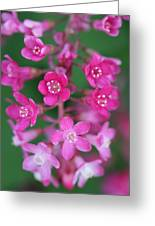 Flowering Currant Greeting Card