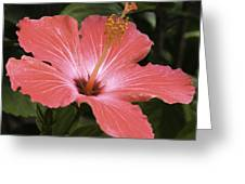 Flowering Hibiscus Greeting Card by John Holloway