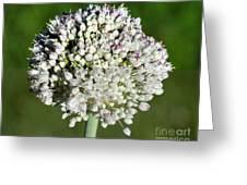 Flowering Leek - Topaz Clarity Demo Greeting Card