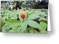 Flowering Red Ginger Plant Greeting Card