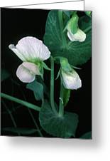 Flowers Of The Garden Pea Greeting Card