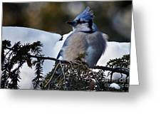 Fluffy Blue Jay Greeting Card