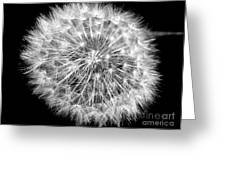 Fluffy Dandelion On Black Greeting Card