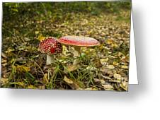 Fly Amanita Greeting Card
