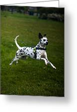 Flying Crazy Dog. Kokkie. Dalmation Dog Greeting Card