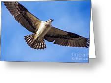 Flying Osprey Greeting Card