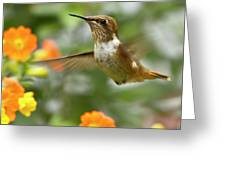 Flying Scintillant Hummingbird Greeting Card