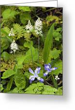 Foamflower And Crested Dwarf Iris - D008428 Greeting Card