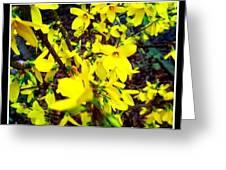 Forsythia Blooms In Spring Greeting Card