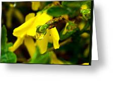 Forsythia's Reflection Greeting Card