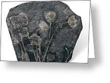 Fossil Crinoids Greeting Card