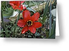 Fosteriana Tulips Red Emperors Greeting Card