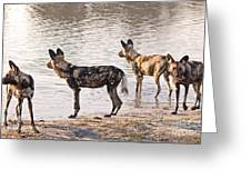 Four Alert African Wild Dogs Greeting Card