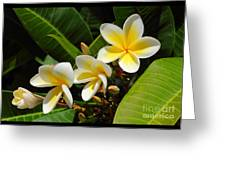Four Summer Frangipanis Greeting Card