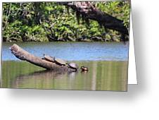 Four Yellow Bellied Turtles Greeting Card