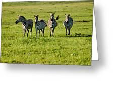 Four Zebras Greeting Card