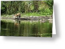 Fox At Water Hole Greeting Card