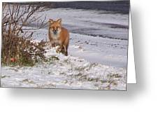 Fox In My Yard Greeting Card
