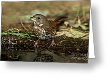Fox Sparrow Drinking Greeting Card