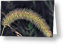 Foxtail Weed Greeting Card