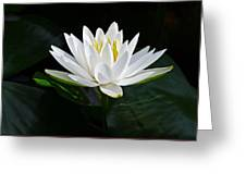 Fragrant Water-lily Greeting Card